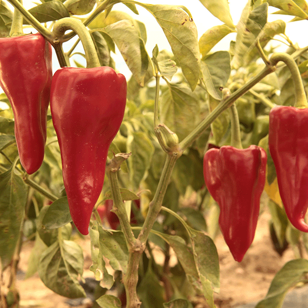 Piquillo pepper from Lodosa (Navarre)