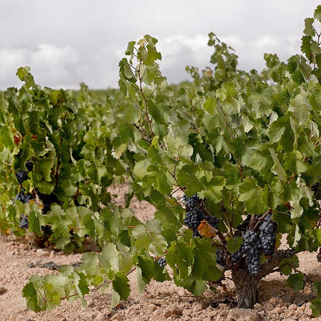 Monastrell grape from Spain. Patricia R.Soto/@ICEX