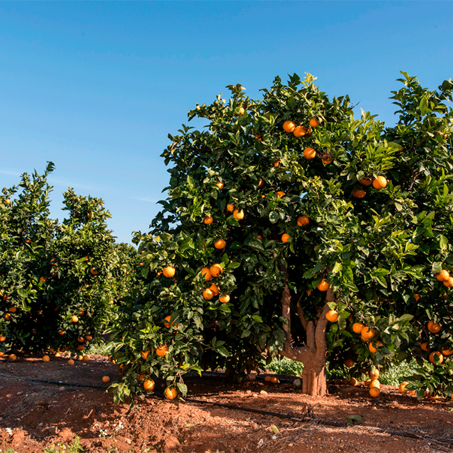 Navelina orange groves by ANECOOP. Photo by: Fernando Madariaga/@ICEX