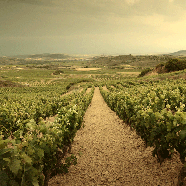 Vineyards in Rioja