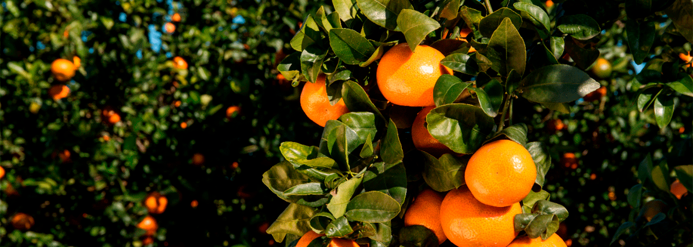 Clementines from Spain. Photo by: @ICEX